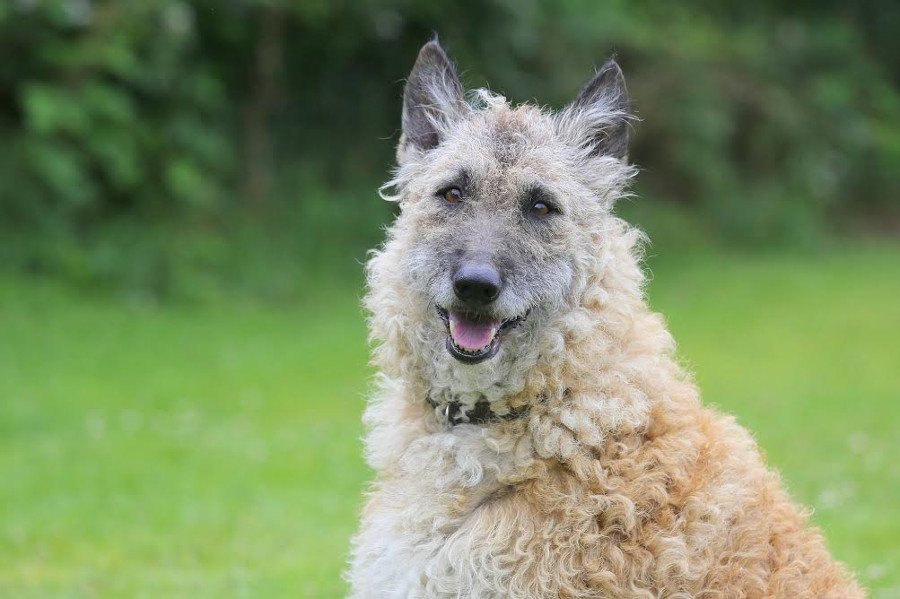Charlie, de oudste Belgische herder op de Waanhoeve