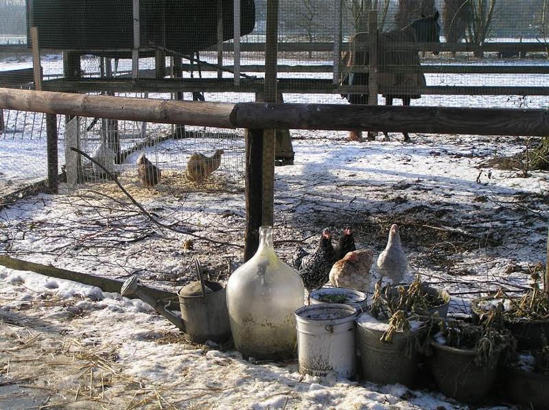 De kippen in de winter op de Waanhoeve in de Achterhoek