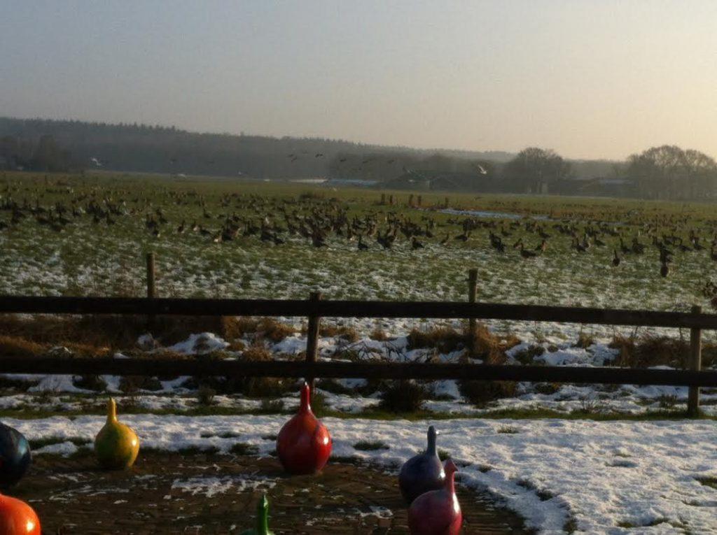 Ganzen strijken neer in het veld naast de Waanhoeve