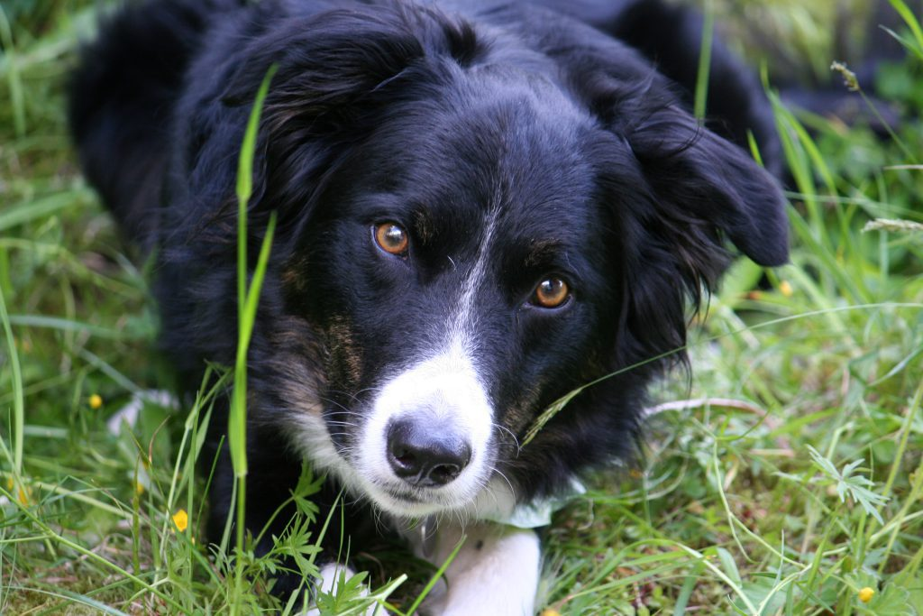 De Bordercollie Tim